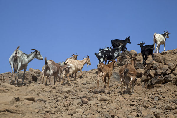Goats running up the slopes of a mountain | Tarrafal | Kaap-Verdië
