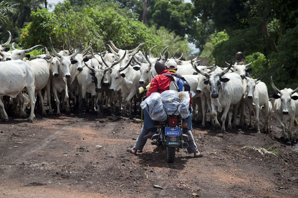 Blocked by a herd of cows | Grassfields Ring Road | Cameroon