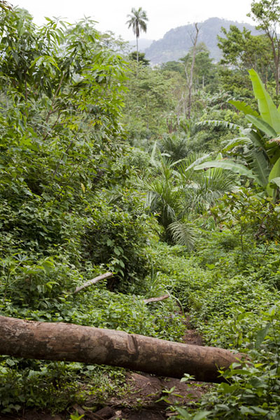 Log lying over the trail to Mount Eloundem | Mount Eloundem | Cameroon