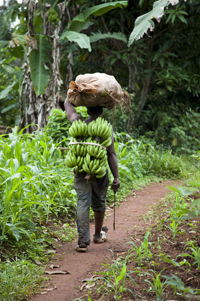 Picture of Cameroonian man carrying a load of bananas down Mount Eloundem