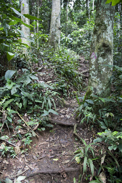 Trees and thick vegetation on Mount Eloundem | Mount Eloundem | Cameroon