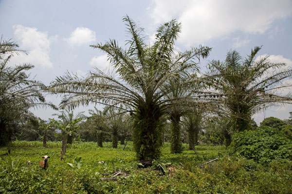 Palm trees full of bird nests in a plantation at the foot of Mount Eloundem | Mount Eloundem | Cameroon