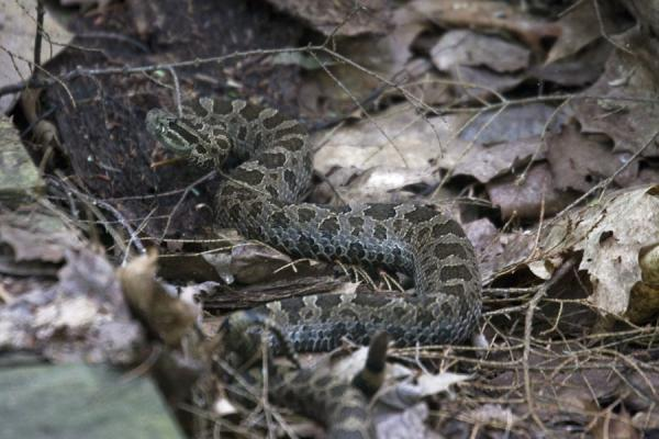 Foto de The Eastern Massasauga rattlesnake rattling its tailIsla Beausoleil - Canada