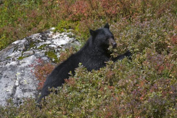 Black bear feasting on blueberries on the flanks of Mount Seymour | Mount Seymour | Canada