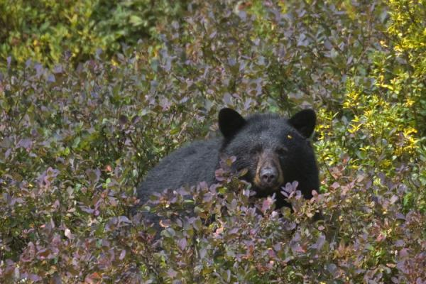 Black bear in a blueberry field on Mount Seymour | Mount Seymour | Canada