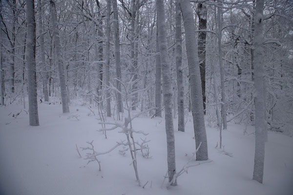 Foto di Snowy trees in the forest on top of Mont RoyalCamminare a racchette a Montreal - Canada