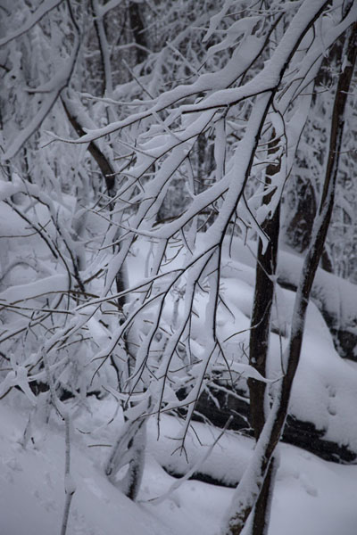Delicate layer of snow on branches of a tree | Camminare a racchette a Montreal | Canada