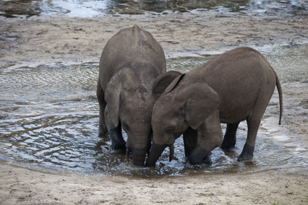 Two young elephants with their trunks deep into one of the pools of Dzanga Bai | Dzanga Bai | Central African Republic