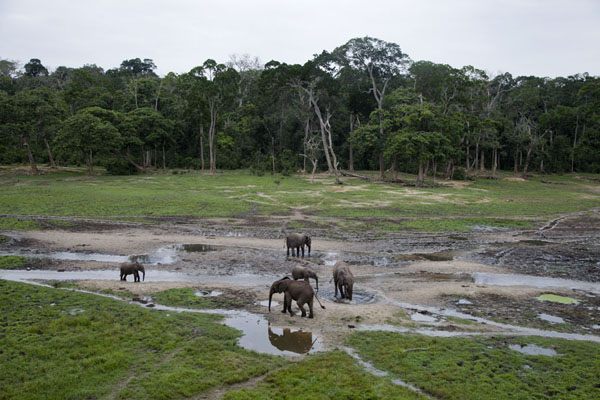 的照片 中非共和国 (Elephants in the central part of Dzanga Bai)