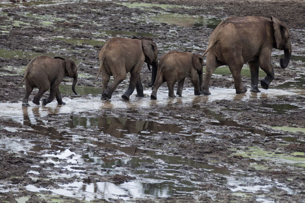 Picture of Adult elephant followed by youngsters at Dzanga Bai