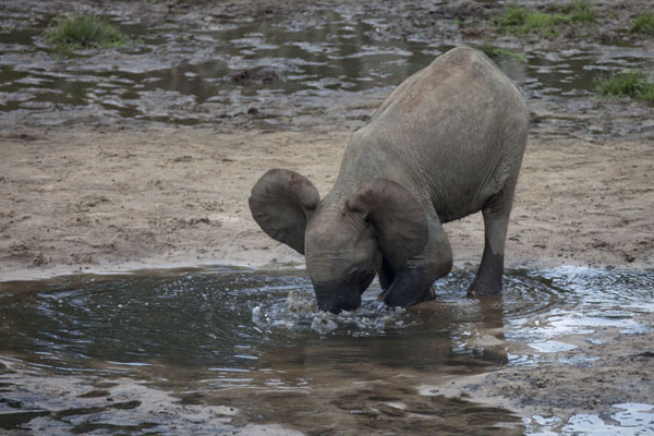 Elephant digging deep into the water of a small pool at Dzanga Bai | Dzanga Bai | Central African Republic