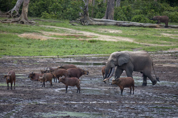 Elephant walking through a herd of forest buffaloes | Dzanga Bai | 中非共和国