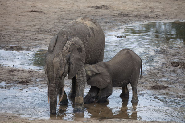 Mother elephant drinking while her calf tries to drink | Dzanga Bai | Centraal Afrikaanse Republiek