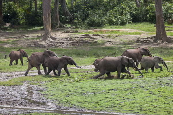 Herd of elephants running through the muddy grass | Dzanga Bai | Central African Republic