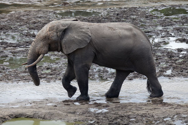 Picture of Elephant marching through the water of Dzanga Bai