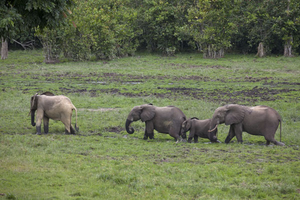 Elephants marching through the wet grass at Dzanga Bai | Dzanga Bai | Centraal Afrikaanse Republiek