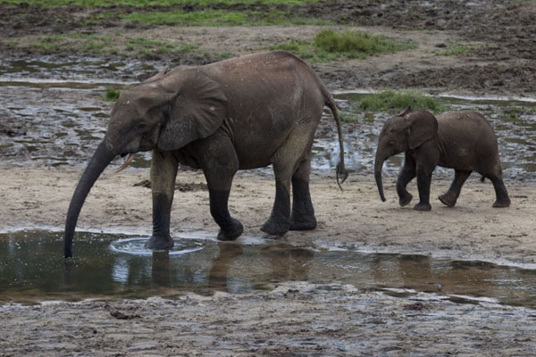 Mother elephant leading her calf to a pool | Dzanga Bai | Centraal Afrikaanse Republiek