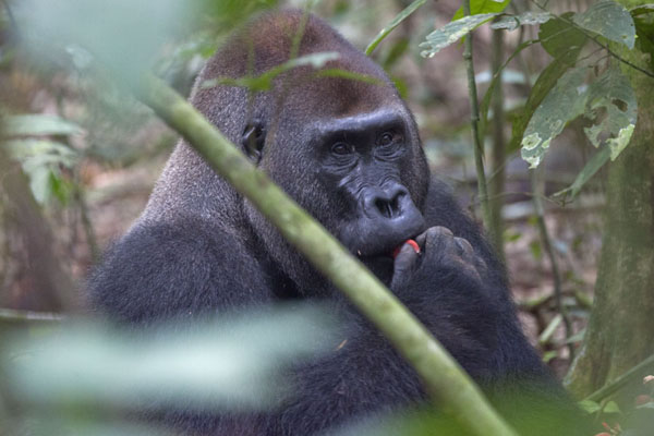 Makumba eating fruit on the floor of the forest | Makumba Gorilla Tracking | 中非共和国