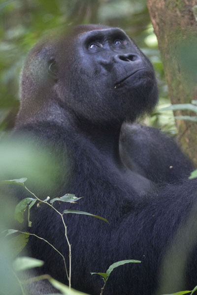Makumba looking up | Makumba Gorilla Tracking | Centraal Afrikaanse Republiek