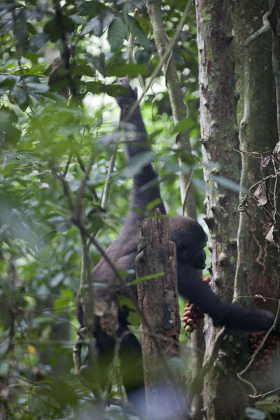 Picture of Young gorilla climbing a treeBayanga - Central African Republic