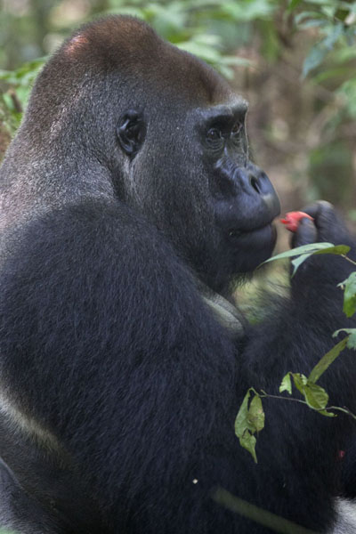 Foto di Makumba eating fruits in the rainforestBayanga - Repubblica Centrafricana