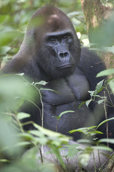 The impressive face and body of Makumba, the silverback | Makumba Gorilla Tracking | Centraal Afrikaanse Republiek