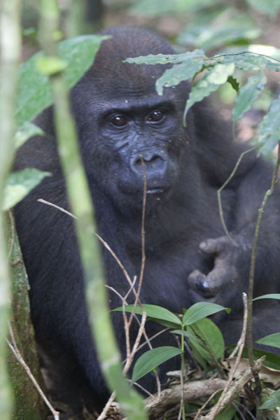 Young gorilla having a break on the floor of the rainforest | Makumba Gorilla Tracking | Centraal Afrikaanse Republiek