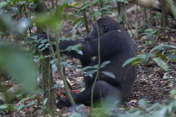 One of the young offspring of Makumba on the floor of the rainforest | Makumba Gorilla Tracking | 中非共和国