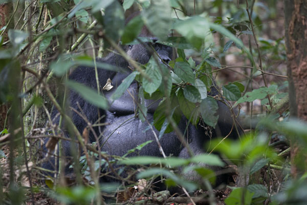 Spotting Makumba in the forest is no easy task | Makumba Gorilla Tracking | 中非共和国