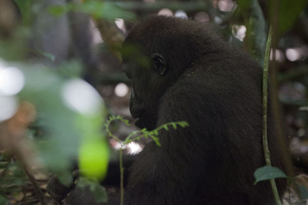 Young gorilla taking a break on the forest floor | Makumba Gorilla Tracking | 中非共和国