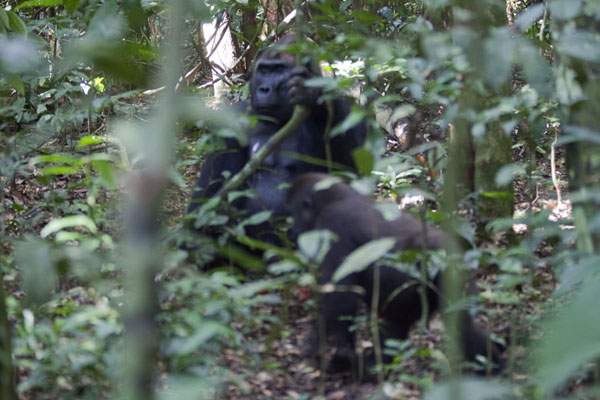 Makumba with one of his offspring in the rainforest | Makumba Gorilla Tracking | 中非共和国