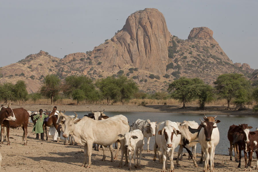 Cows emerging from a small lake at the foot of the Ab Touyour mountains | Ab Touyour | Chad
