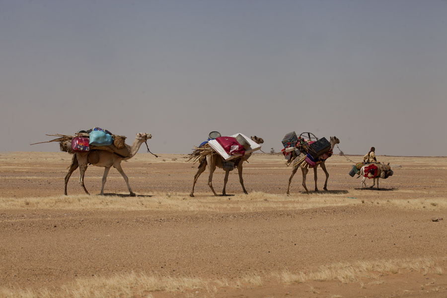 Foto van Small caravan of camels with donkey in eastern ChadTsjadiërs - Tsjaad