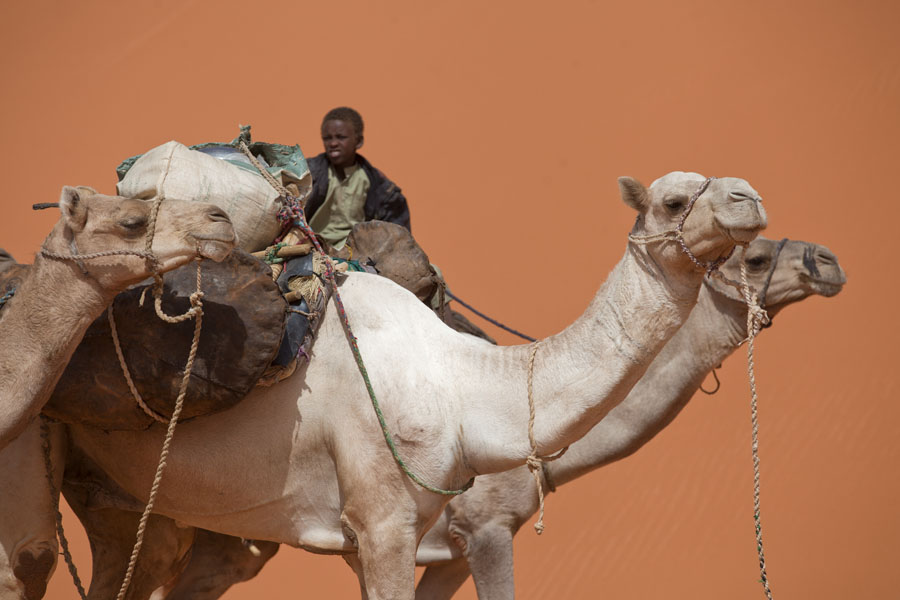 Foto van Camels and young herdsman as part of a camel caravanEyo demi - Tsjaad