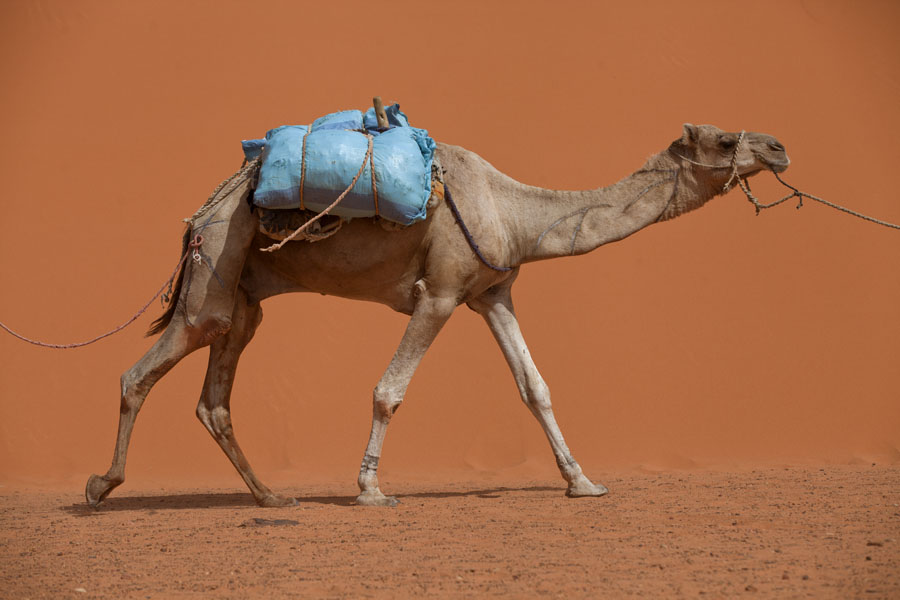 Foto van Camel in a caravan going through the desert - Tsjaad - Afrika