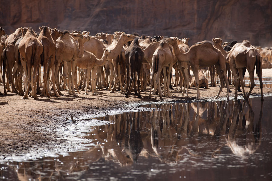 Foto van Herd of camels reflected in the water of the Guelta d'ArcheïGuelta d'Archeï - Tsjaad