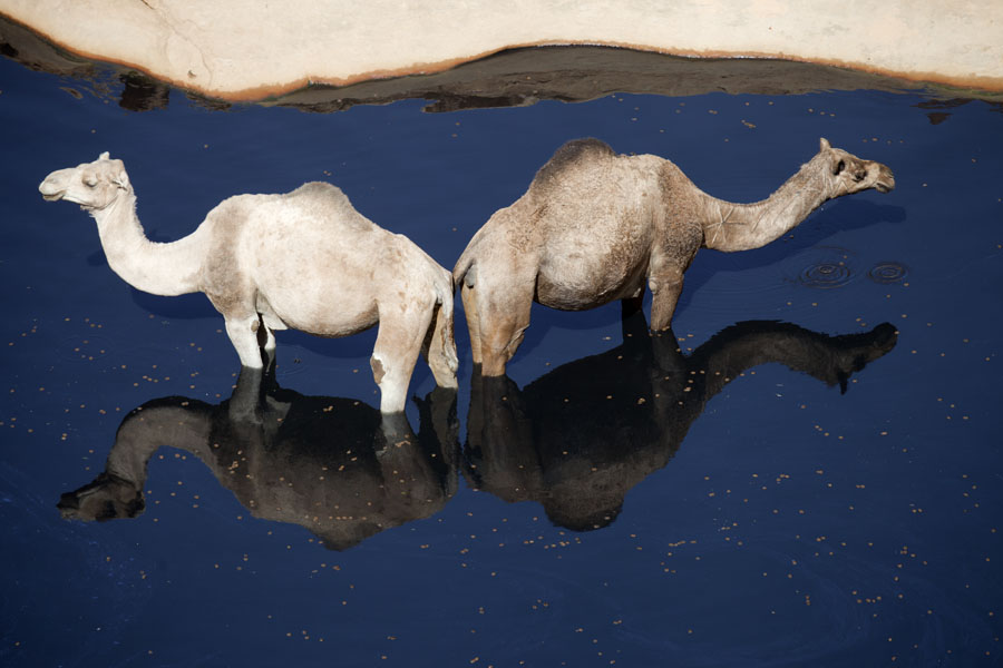 Foto van Pair of camels in the waterGuelta d'Archeï - Tsjaad