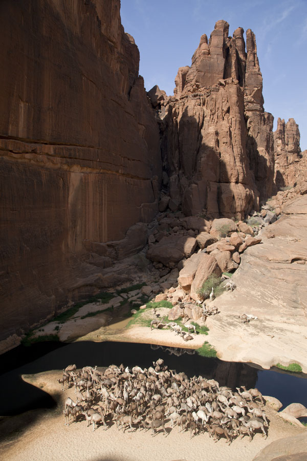 Herd of camels standing on a strip of land under the high walls of the Guelta d'Archeï | Guelta d'Archeï | Chad