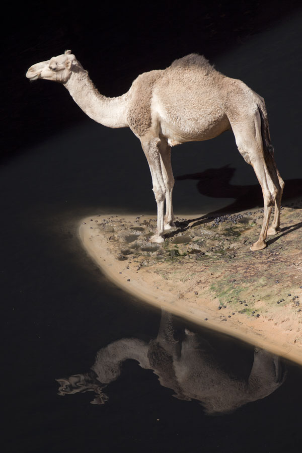 Camel standing on a strip of land, reflected in the water of the Guelta d'Archeï | Guelta d'Archeï | Chad