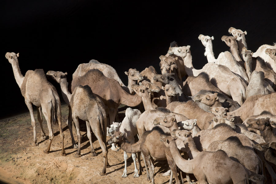 Foto di Herd of camels standing on the banks of the stream through the canyonGuelta d'Archeï - Ciad