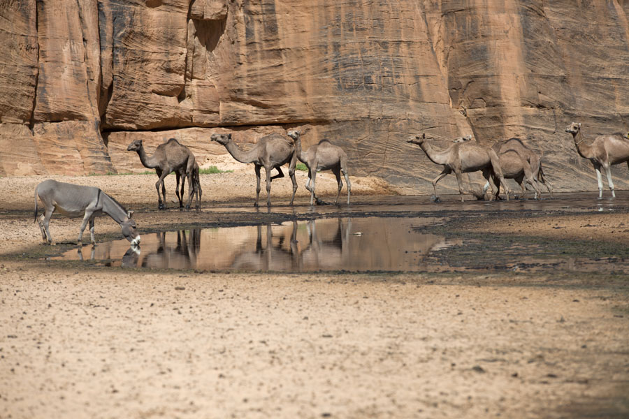 Foto di Donkey drinking dirty water while camels pass byGuelta d'Archeï - Ciad