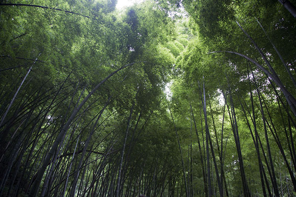 Photo de Looking up tall bamboo on the slopes of Baoshi mountainHangzhou - Chine