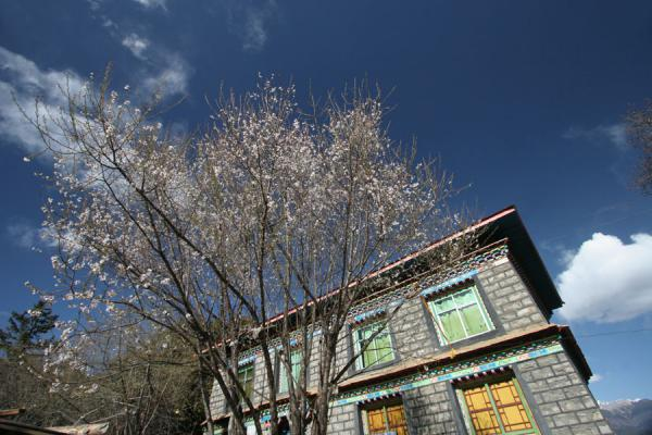 Blossoming tree and building of Tsozong monastery | Draksum-Tso | China