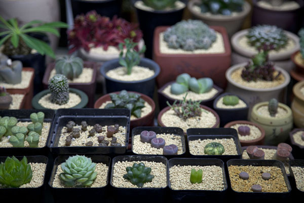 Picture of Flowers, fish, birds and insects market (China): Tiny cacti of various types for sale at a market stall
