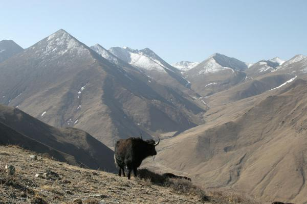 Yak with Tibetan mountains in the background | Ganden Monastery | China