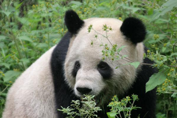 Foto de Giant panda looking through vegetationWolong - China