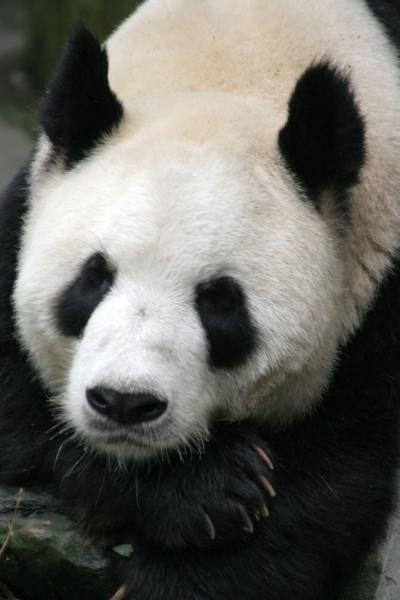 Foto de Giant panda lazily looking to the photographerWolong - China