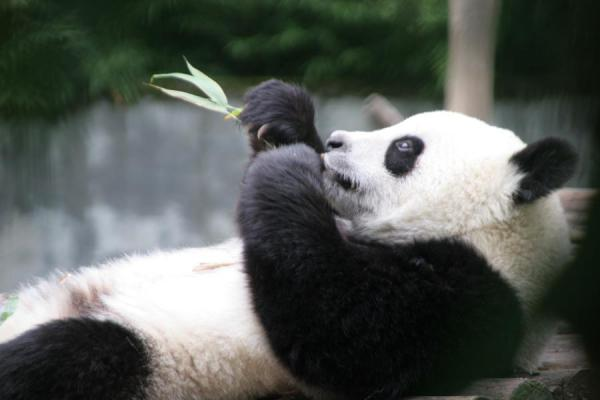 Picture of Giant panda chewing bamboo at Wolong Research Centre