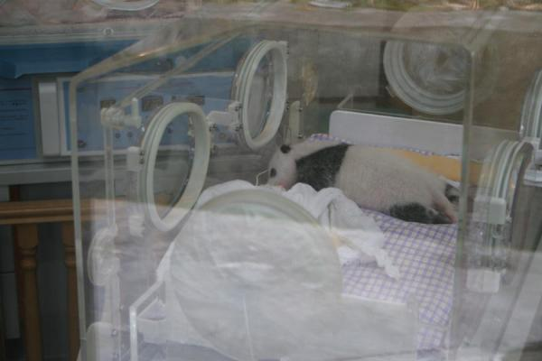 Foto de Giant panda cub in incubatorWolong - China