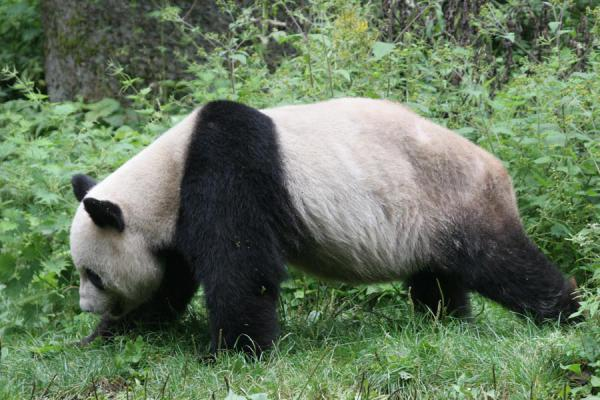 Picture of Giant panda (China): Giant panda walking in the grass
